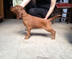 pup for sale  Irish setter