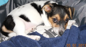 Jack-Russell-Terrier-puppies