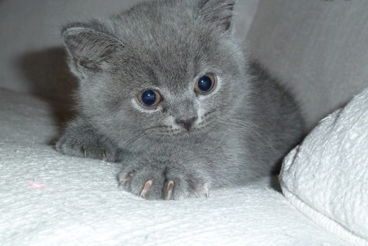 British Shorthair Gccf Registered
