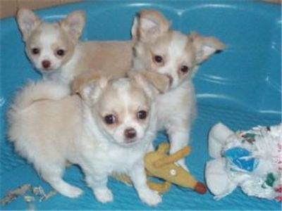 smooth coated Chihuahua puppy\′s