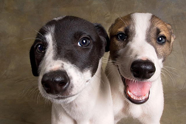 Greyhound Puppies for adoption.