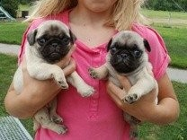 Lovely Pug Puppies