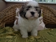 Beautiful condition Lhasa Apso