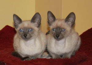 Blue point Siamese kittens