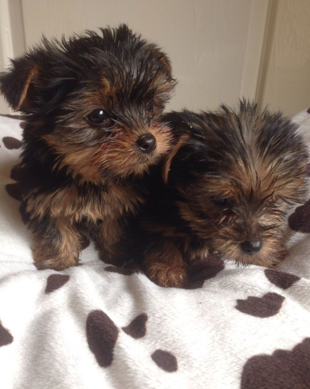 Yorkshire Terrier Puppies-miniture