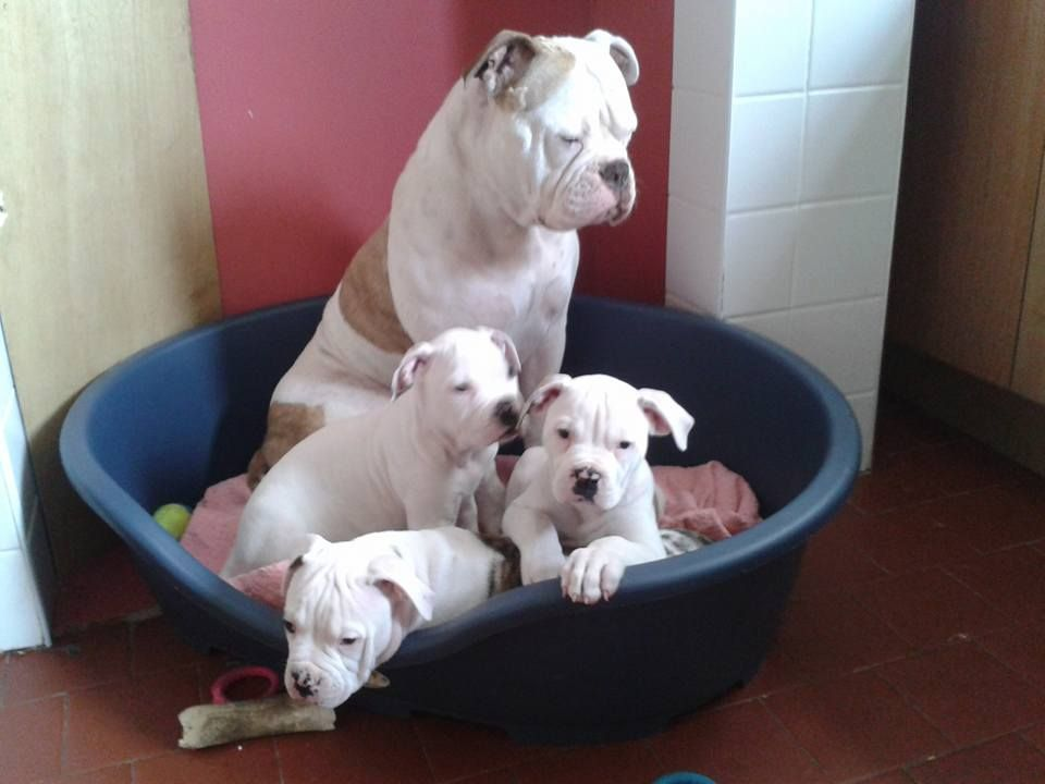 Classic American Bulldog Puppies