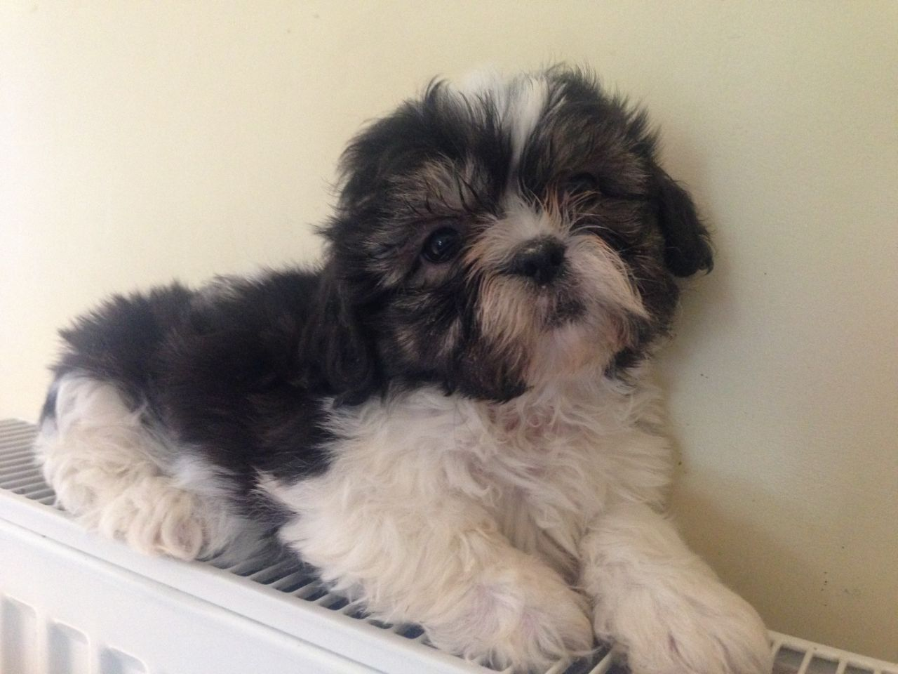 Stunning Little shih tzu Pups Ready Now