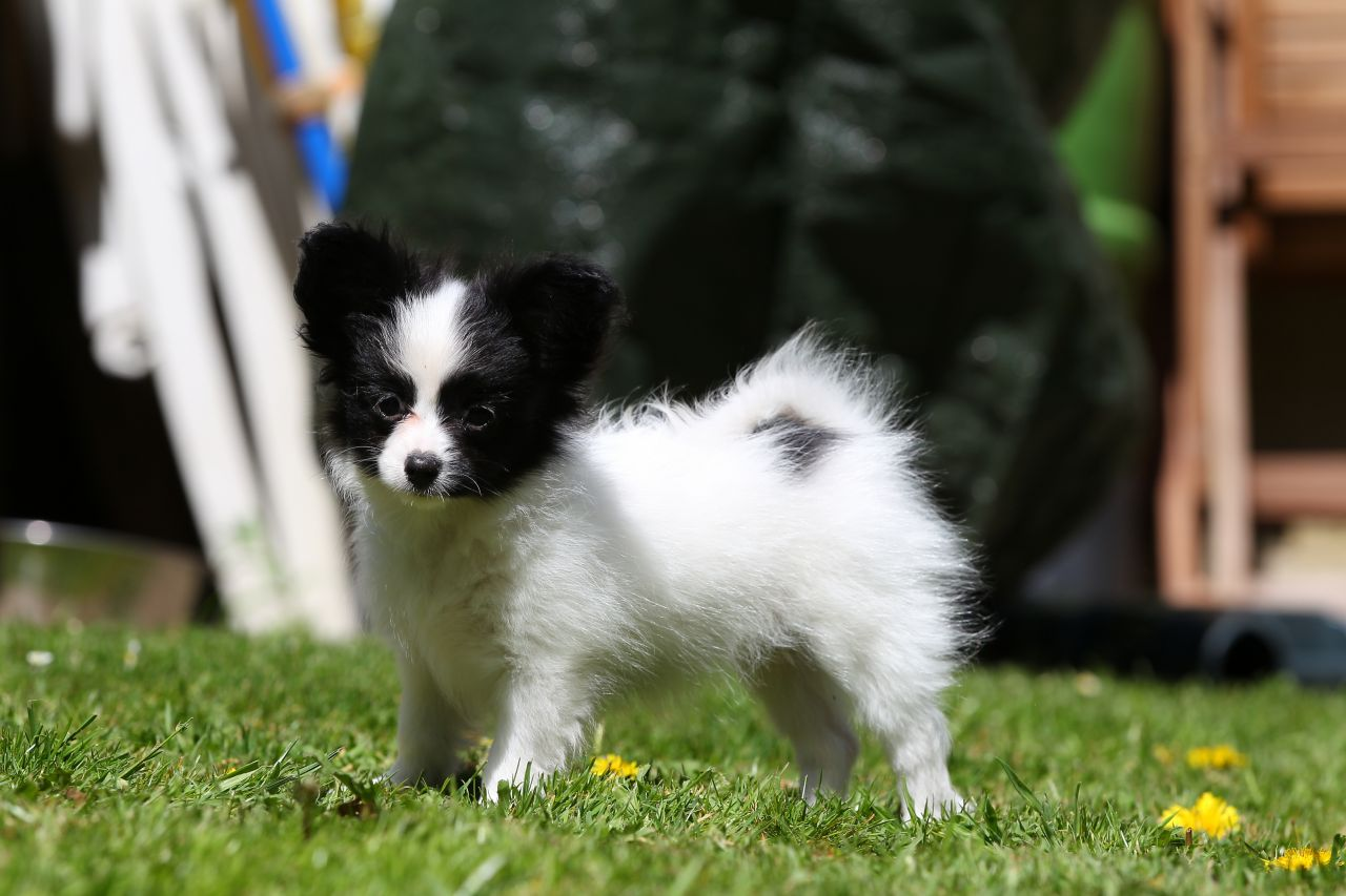 1 Male & 1 Female papillon Puppy For Sale