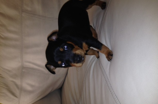 Black And Tan Miniature Pinscher For Sale