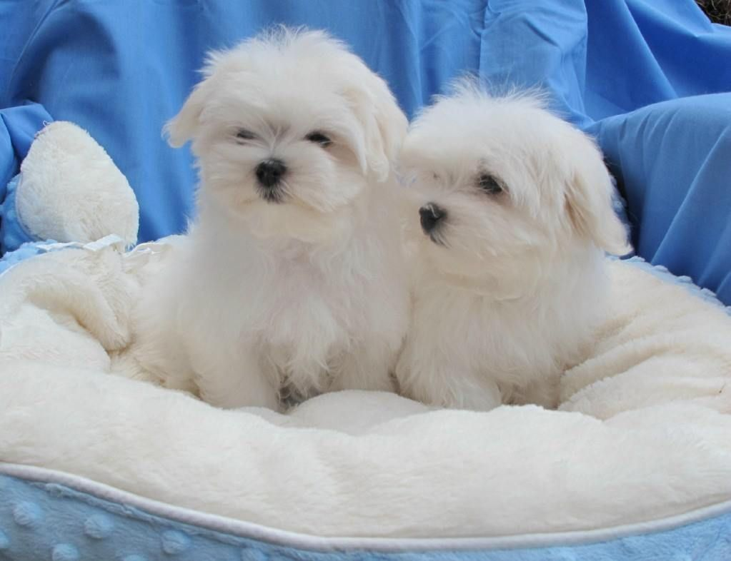Maltese Dogs For Sale Northern Ireland