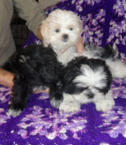 SHIH TZU PUPS PUREBRED REGISTERED