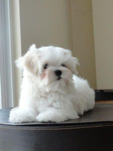 Tiny Maltese male puppies