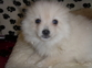 Tiny Tea-cup Pomeranian puppies,