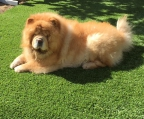 Breeder Chow chow