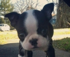 Boston terrier last pup