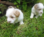 bichon havanese for sale