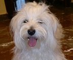 havanese kennel