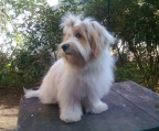 havanese, 3 males and 2 females, ask price
