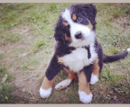 Find the perfect Bernese Mountain Dog puppy