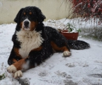 small breeder of Bernese Mountain dogs