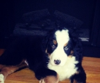 female Bernese mountain dog 2.5 months old