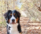 8 month old bernese for sale