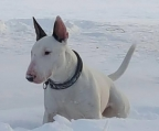 WHITE MIN BULL TERRIER FOR SALE