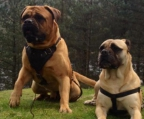 PUPPIES BULLMASTIFF