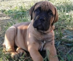BULLMASTIFF BREEDERS
