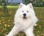 Puppies samoyed for sale