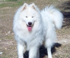 pups samoyed from Russia with excellent pedigree