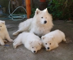 Find samoyeds in Dublin from local breeders