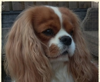 cavaliers puppies for sale