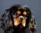 cavalier king charles spaniel blanck & tan for sale