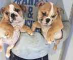Available male and female English bulldog puppies