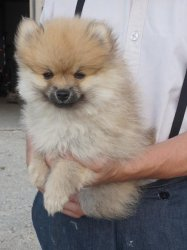 1 males and 1 female teacup pomeranian pups