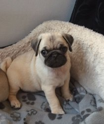 Priceless AKC Reg , Fawn  pug Puppy