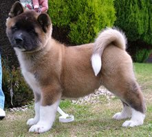 Beautiful Akita Reg Puppies