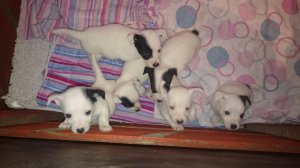 Beautiful jack russel puppies ready