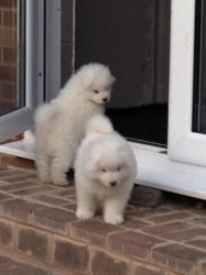 Samoyed Puppies for sales