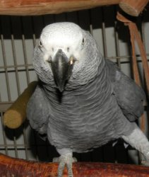 Adorable baby African Greys