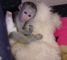 2Baby Capuchin Monkeys for Adoption