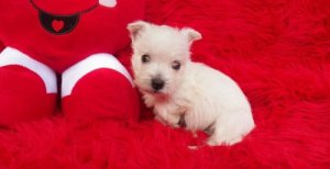 Well Trained West Highland White Terrier Puppies