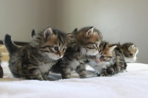cute Siberian kittens ready for sale