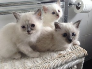 Outstanding Birman kittens