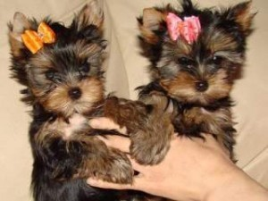 3 pups yorkshire terrier