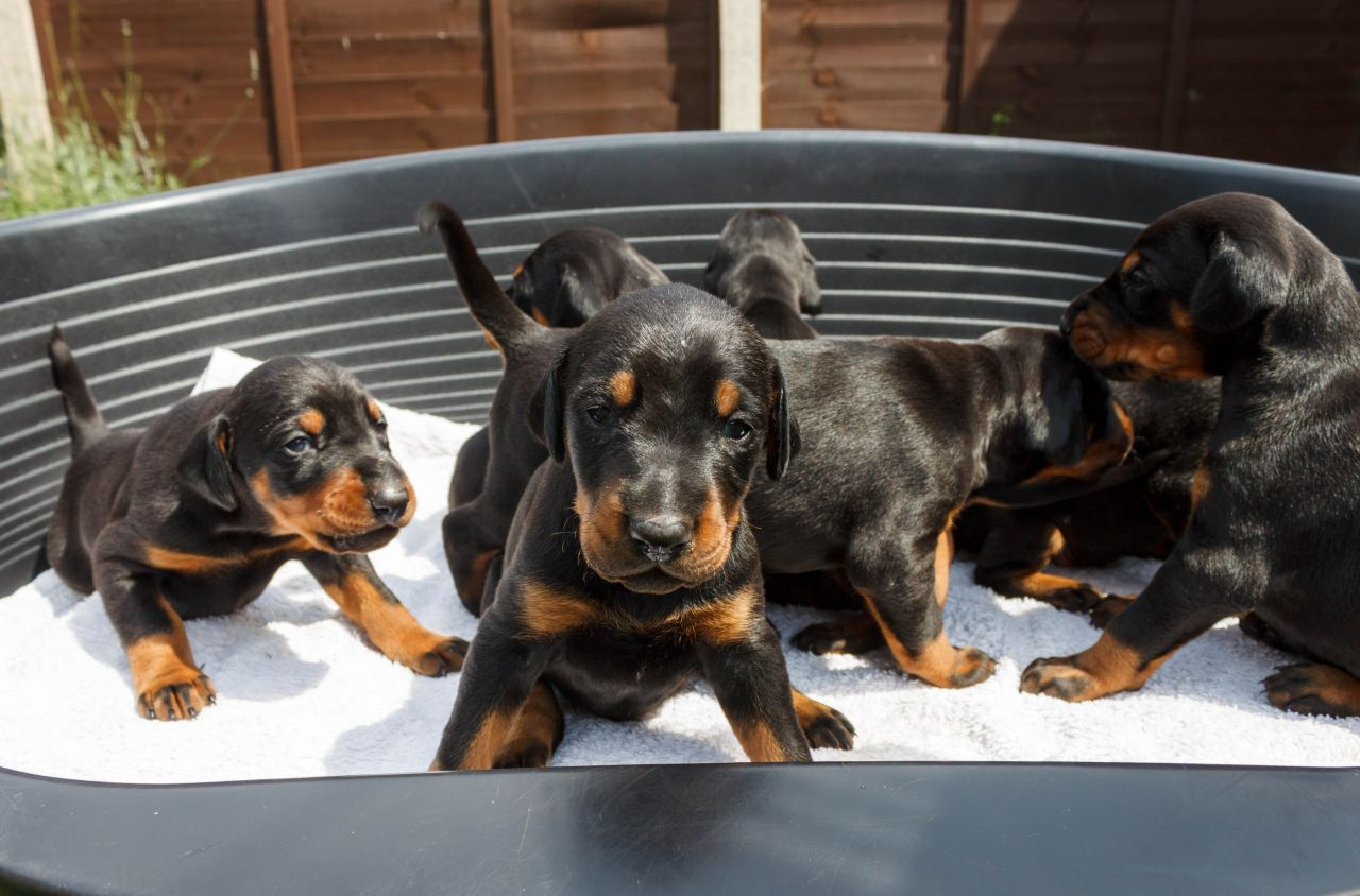 adorable doberman pincher puppies for adoption ...