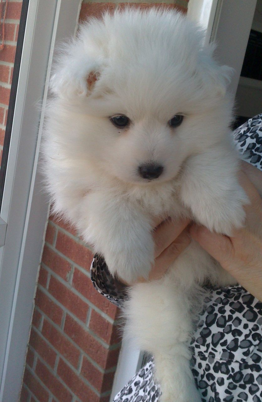 Japanese Spitz Puppies for adoption