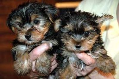 Good Looking Yorkie Puppies for sell