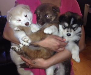 Husky puppies for adoption